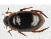 Tropisternus collaris